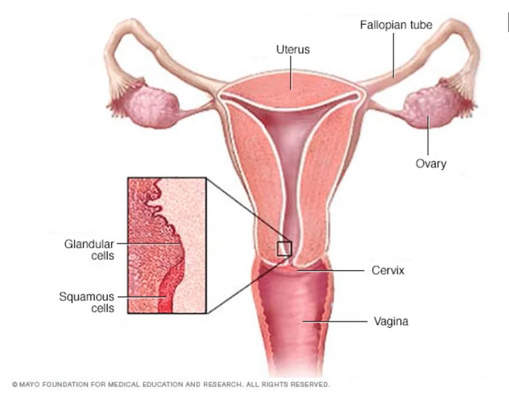 diagram-of-uterus